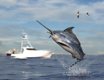 A swordfish jumps out of the water
