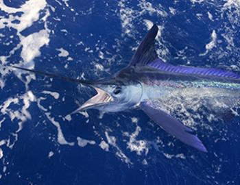 Orange Beach Billfish Classic