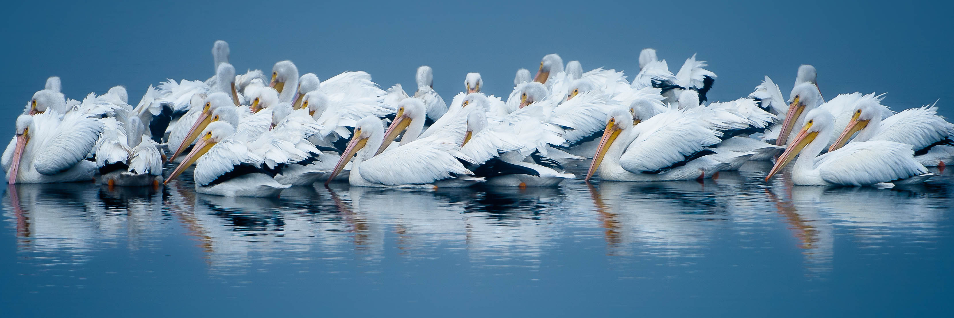 American White Pelican Migration Event